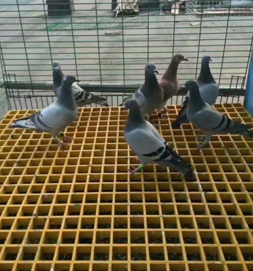 鸽舍公棚地网格栅